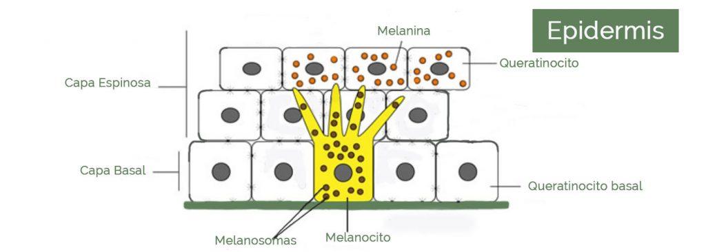cosmetica-natural-melanina